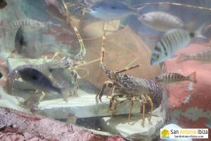 Aquarium Cap Blanc San Antonio Ibiza - lobsters